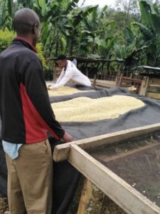 Eerste koffieoogst van 2020 - koffie drogen
